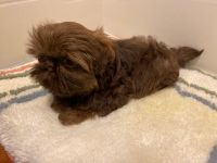 Shih Tzu Puppies for sale in Riceville, TN 37370, USA. price: NA