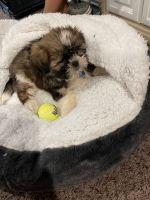 Shih Tzu Puppies for sale in Sugar Creek, MO 64050, USA. price: NA