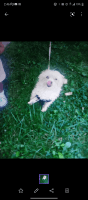 Shih Tzu Puppies for sale in 422 N Main St, Royal Oak, MI 48067, USA. price: NA