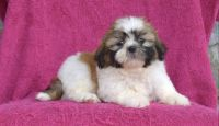 Shih Tzu Puppies for sale in 45-60 194th St, Flushing, NY 11358, USA. price: NA