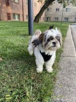 Shih Tzu Puppies for sale in 1209 Linworth Ave, Baltimore, MD 21239, USA. price: NA