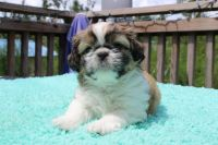 Shih Tzu Puppies for sale in Chipley, FL 32428, USA. price: NA