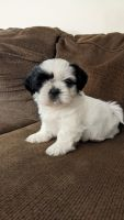 Shih Tzu Puppies for sale in Port Jervis, NY 12771, USA. price: NA