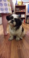 Shih Tzu Puppies for sale in Toledo, OH 43615, USA. price: NA