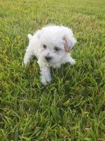 Shih Tzu Puppies for sale in Houston, TX 77081, USA. price: NA