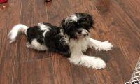 Shih Tzu Puppies for sale in Streamwood, IL, USA. price: NA