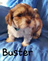 Shih Tzu Puppies for sale in Belton, MO, USA. price: NA