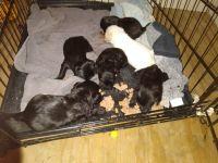 Shih Tzu Puppies for sale in Tonganoxie, KS 66086, USA. price: NA