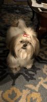 Shih Tzu Puppies for sale in Atlanta, GA, USA. price: NA