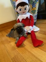 Shih Tzu Puppies for sale in Templeton, MA, USA. price: NA