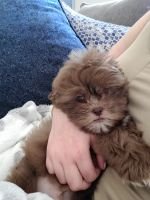 Shih Tzu Puppies for sale in Boynton Beach, FL, USA. price: NA