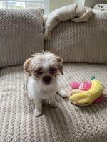Shih Tzu Puppies for sale in Charlotte, NC, USA. price: NA