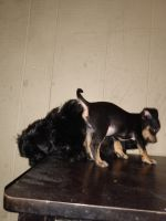 Shih Tzu Puppies for sale in Birmingham, AL, USA. price: NA