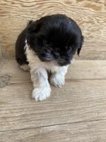 Shih Tzu Puppies for sale in Lucerne Valley, CA 92356, USA. price: NA