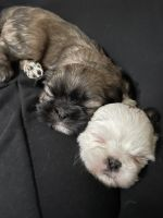 Shih Tzu Puppies for sale in Monroe, NY 10950, USA. price: NA