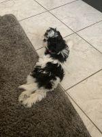 Shih Tzu Puppies for sale in Jacksonville, FL, USA. price: NA