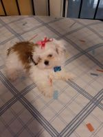 Shih Tzu Puppies for sale in Hollywood, FL, USA. price: NA