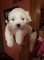 Shih Tzu Puppies for sale in Mt Pleasant, MI 48858, USA. price: NA