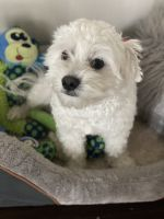 Shih Tzu Puppies for sale in Katy, TX, USA. price: NA