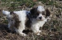 Shih Tzu Puppies for sale in Bowling Green, KY, USA. price: NA