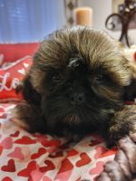 Shih Tzu Puppies for sale in New Braunfels, TX, USA. price: NA