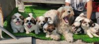 Shih Tzu Puppies for sale in Ohio City, Cleveland, OH, USA. price: NA