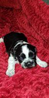 Shih Tzu Puppies for sale in Tucson, AZ 85757, USA. price: NA