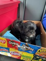 Shih Tzu Puppies for sale in Arundel Mills Cir, Hanover, MD 21076, USA. price: NA