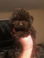 Shih Tzu Puppies for sale in Victorville, CA, USA. price: NA