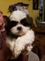 Shih Tzu Puppies for sale in Centralia, MO 65240, USA. price: NA