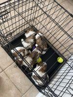 Shih Tzu Puppies for sale in San Antonio, TX 78213, USA. price: NA