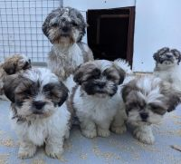 Shih Tzu Puppies for sale in Sioux Falls, SD, USA. price: NA