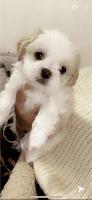 Shih Tzu Puppies for sale in Panama City Beach, FL, USA. price: NA