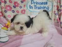 Shih Tzu Puppies for sale in Los Angeles, CA 90044, USA. price: NA