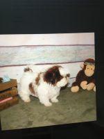 Shih Tzu Puppies for sale in Charleston, SC, USA. price: NA