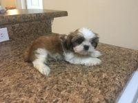 Shih Tzu Puppies for sale in Panama City, FL, USA. price: NA