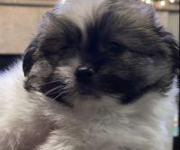 Shih Tzu Puppies for sale in San Francisco Bay Area, CA, USA. price: NA