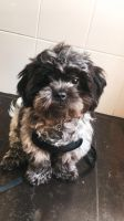 Shih Tzu Puppies for sale in Fishers, IN, USA. price: NA