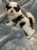 Shih Tzu Puppies for sale in Charleston, WV, USA. price: NA