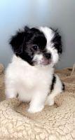 Shih Tzu Puppies for sale in Fraser, MI 48026, USA. price: NA