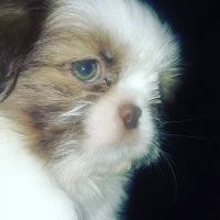 Shih Tzu Puppies for sale in Bloomfield Hills, MI 48304, USA. price: NA