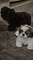 Shih Tzu Puppies for sale in Clayton, NC, USA. price: NA