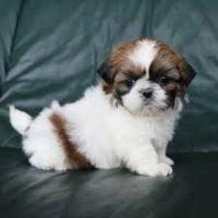 Shih Tzu Puppies for sale in Minnesota City, MN 55959, USA. price: NA