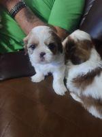 Shih Tzu Puppies for sale in Dallas, TX, USA. price: NA