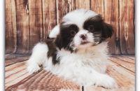 Shih Tzu Puppies for sale in Las Vegas, NV 89148, USA. price: NA