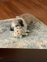 Shih Tzu Puppies for sale in Brewster, NY 10509, USA. price: NA