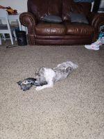 Shih Tzu Puppies for sale in Las Vegas, NV 89102, USA. price: NA