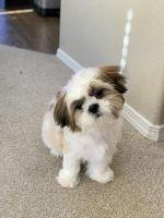 Shih Tzu Puppies for sale in Denver, CO, USA. price: NA
