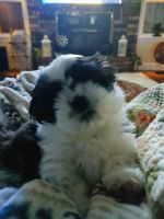 Shih Tzu Puppies for sale in Guthrie, OK, USA. price: NA