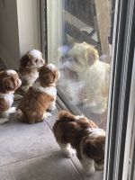 Shih Tzu Puppies for sale in St Cloud, FL, USA. price: NA